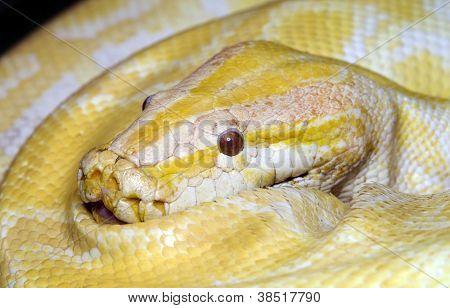 Albino Tiger python