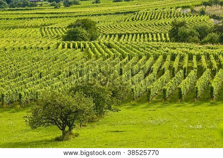 Vineyards And Fruit Trees In Alsace (france)