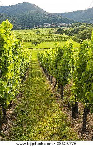 Viñedos de Alsacia (Francia)