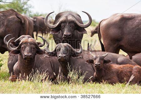Buffalo Herd Resting On Grass