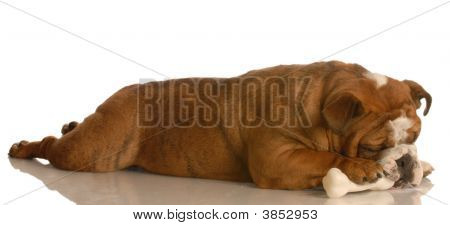 Bulldog Laying Chewing Bone