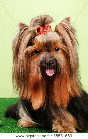 Beautiful yorkshire terrier on grass on colorful background