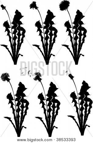 dandelion flowers from beginning to senility isolated on white background