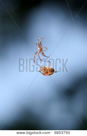 男性女性蜘蛛