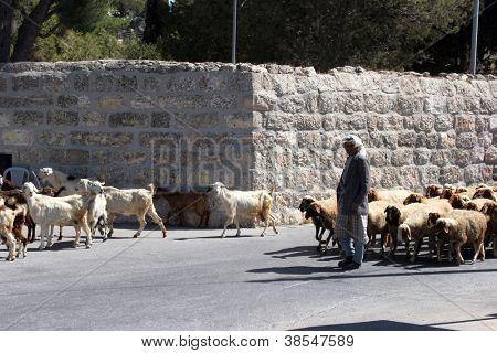 BETHLEHEM, SHEPHERDS FIELD - OCTOBER 05: The shepherd leads a flock of sheep grazing just as in biblical times in Bethlehem, Israel on October 05, 2006.