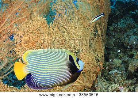 Tropical Fish: Emperor Angelfish and coral reef