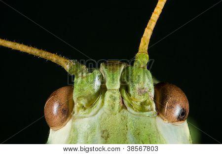 Extreme Macro shoot of Green Bush Cricket Head