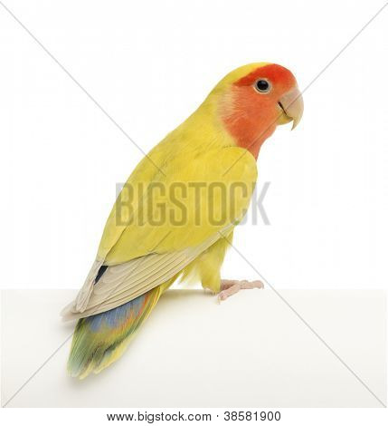 Rosy-faced Lovebird, Agapornis roseicollis, also known as the Peach-faced Lovebird against white background
