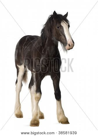 Shire horse foal standing against white background
