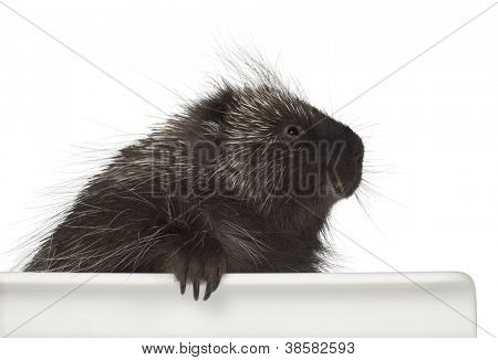 North American Porcupine, Erethizon dorsatum, also known as Canadian Porcupine or Common Porcupine getting out of box, e against white background