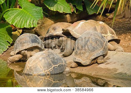 A group of Galapagos Giant Tortoises (Geochelone nigra)