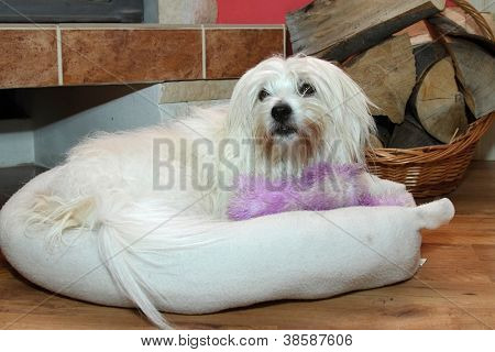 uncommon breed of dog Cotton de Tulear