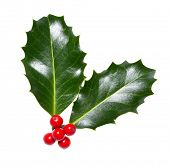 stock photo of holly  - holly leaves and berries isolated on a white background - JPG