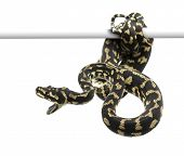 Jungle carpet python attacking, Morelia spilota cheynei against white background