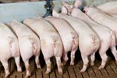 image of husbandry  - rear buttocks of young Group piglet feeding at breeding pig farm - JPG
