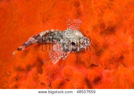 Scorpionfish on Red Sponge