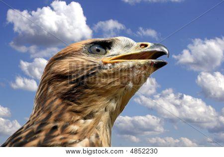 Red Kite Juvenile - Milvus Milvus