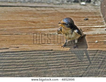 Begging Barn Swallow