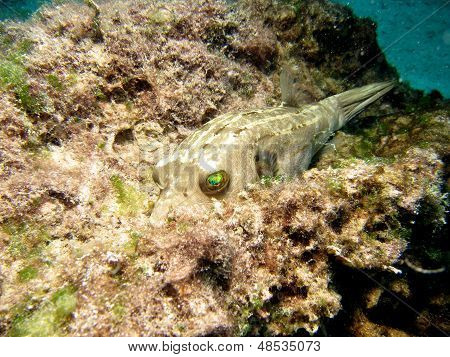 Blackspotted Pufferfish