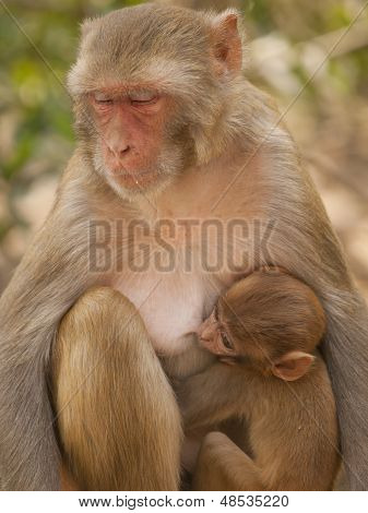 Mother macaque feeding her baby At the Monkey Temple (Galwar Bagh)- Jaipur, India