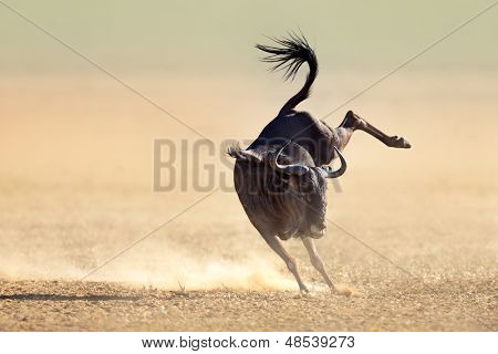 Blue wildebeest jumping playfully around - Kalahari desert - South Africa