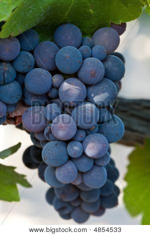 Close Up Of Wine Grape Cluster