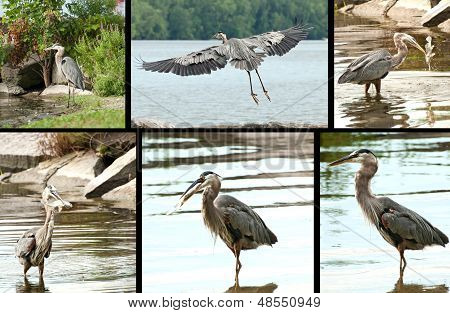 Great Blue Heron Montage