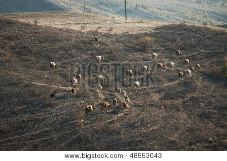 Herd Of Cows Grazing In A Valley