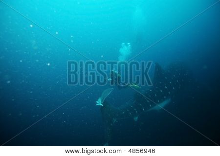 Scuba Diver Approaching Whale Shark In Galapagos Islands Waters
