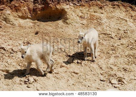 Children Of Mountain Goat,canadian Rockies,canada