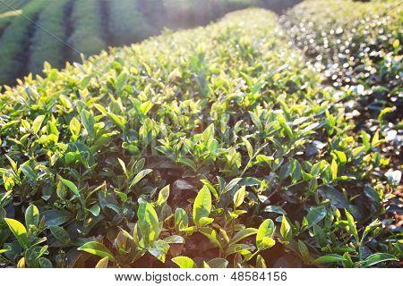Teeblätter im Morgensonnenlicht