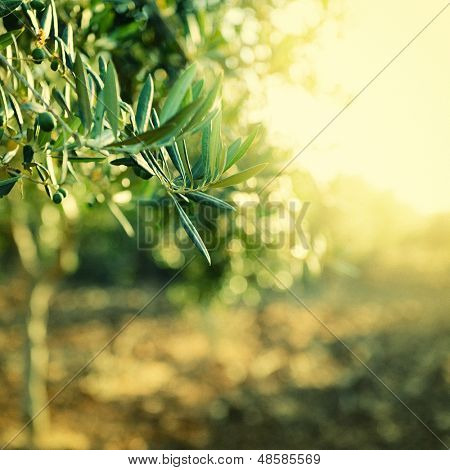 Olive trees garden, mediterranean olive field ready for harvest, toned and grain added