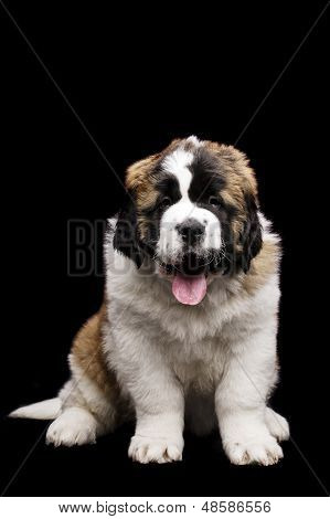 St Bernard Puppy Isolated On Black
