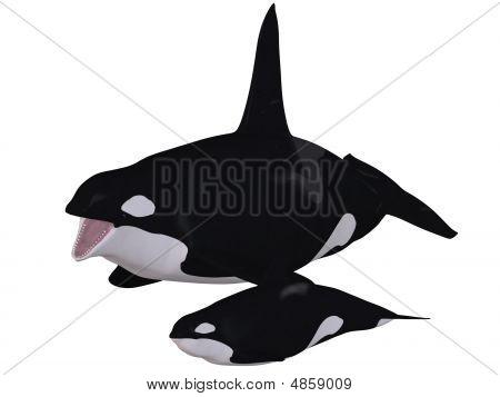 Orca - Killer Whale With Calf