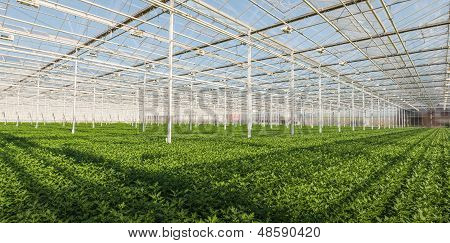 Young Chrysanthemum Plants In A Dutch Greenhouse
