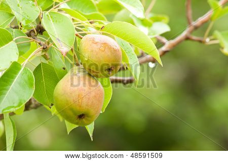 Two Pears On The Tree Branch