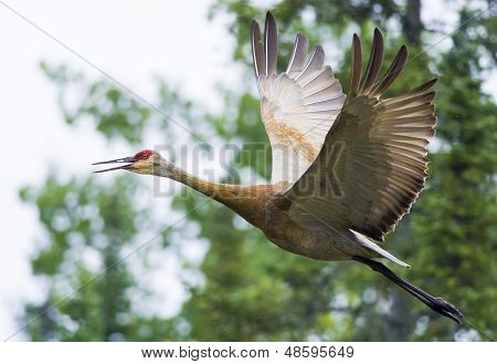 Greater Sandhill Crane