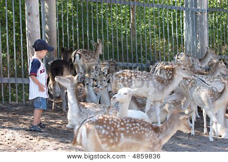Small Boy In A Deer Park Surrounded By Deer
