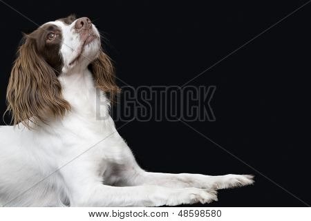 Side view of English Springer Spaniel looking up against black background