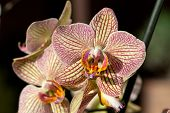 image of freaky  - Close up of Freaky orchid pink and yellow - JPG