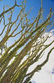 pic of ocotillo  - leafy green ocotillo stems and blue sky - JPG