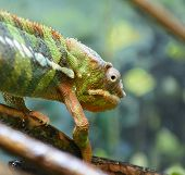picture of chameleon  - Photo of a Chameleon walking along a branch while keeping an eye on the camera - JPG