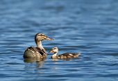 Female Mallard duck and her duckling