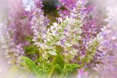 stock photo of purple sage  - Clary sage Salvia sclarea in bloom in garden - JPG