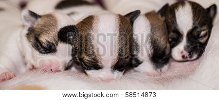 Four Cute Chihuahua Puppies Suckling Their Mother