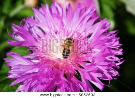 Bee seating on a violet flower (close-up view)