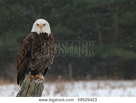 Bald Eagle Looking at You