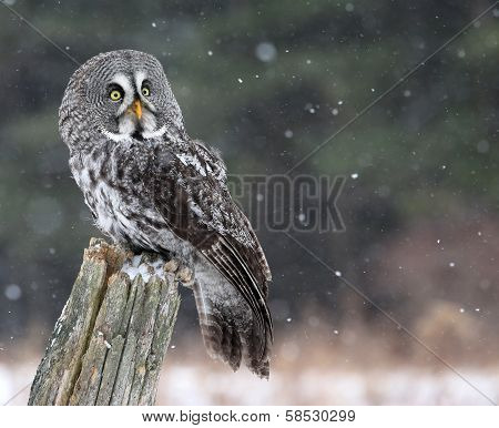 Great Grey Owl Looking