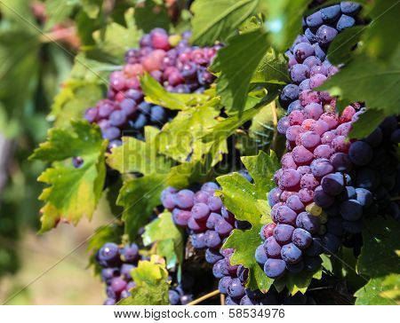 Grapes Of Tuscany