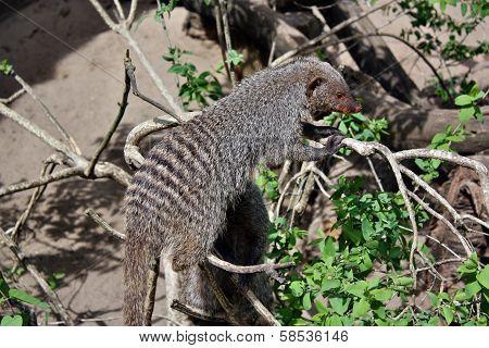Mongoose Tabby